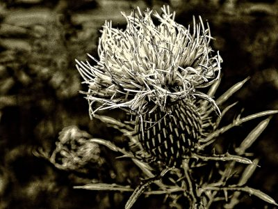 Black and white art featuring a close up of a white thistle flower
