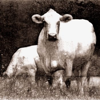 Black and white cow art featuring two white cows behind a barbed wire fence