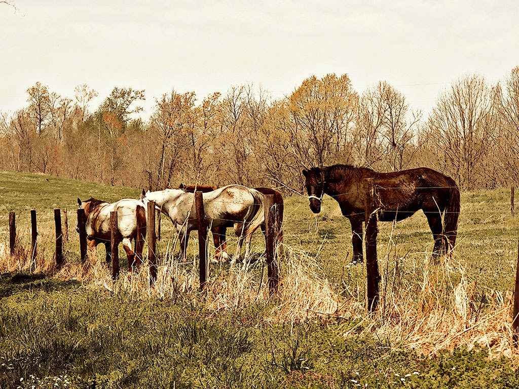 Art featuring two white horses and one brown horse behind a barbed wire fence