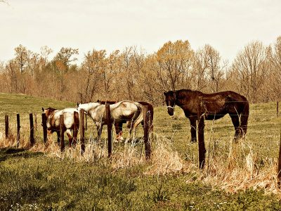 Product, Horse Wall Art: Three Amigos - Two white and one black horse standing by barbed wire fence