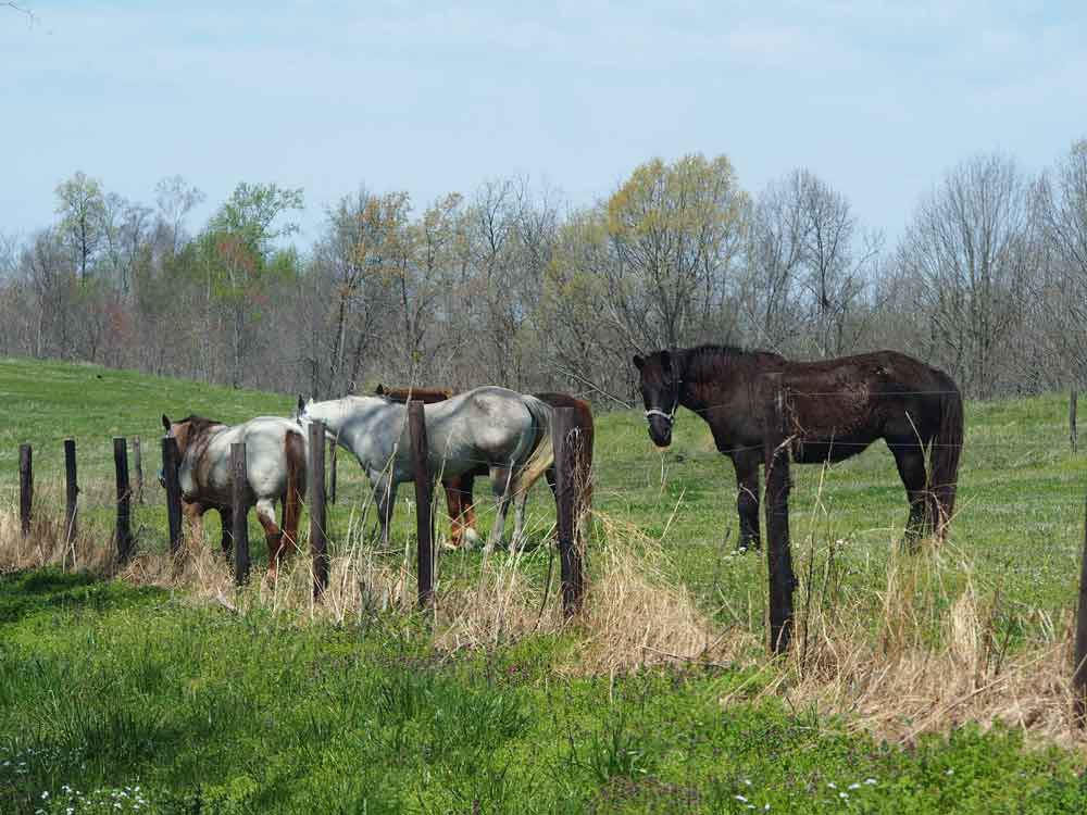 Original image of white and brown horses in hay field by barbed wire fence