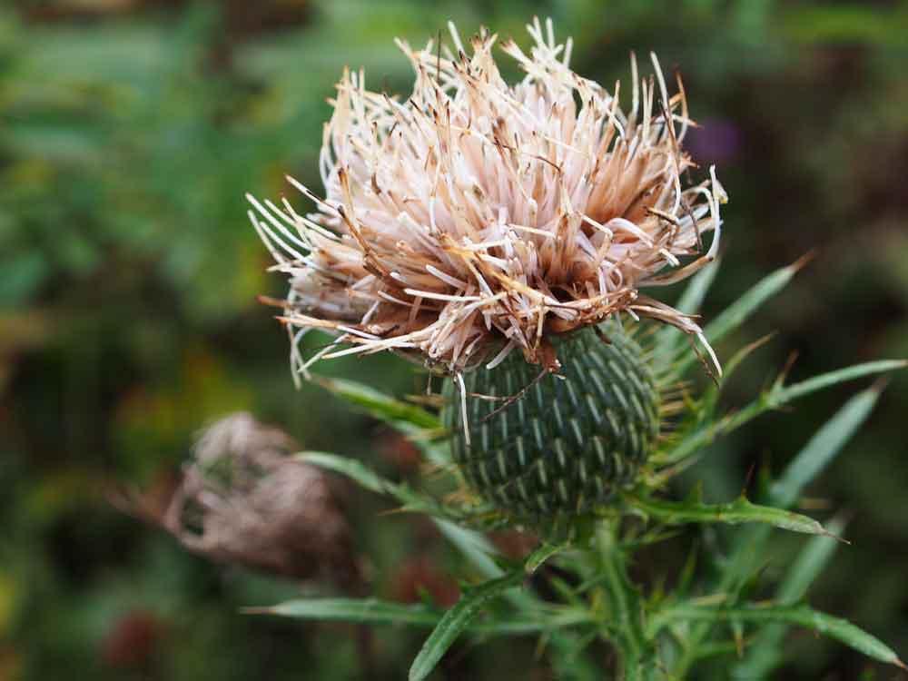 Original photo, closeup of white thistle flower