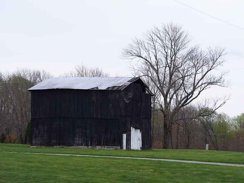 Original photo of old black barn with large oak tree